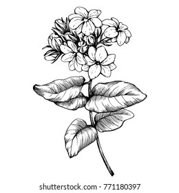 Graphic the branch of Jasmine plant (Jasminum sambac) with flowers and leaves. Black and white outline illustration hand drawn painting, isolated on white background.