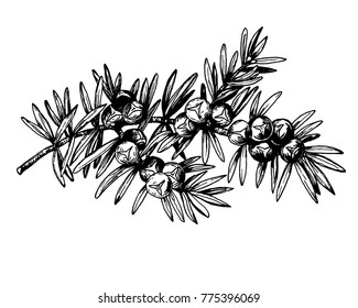 Graphic the branch of Juniper plant (Juniperus communis) with berries and leaves. Black and white outline illustration hand drawn painting. Isolated on white background.
