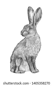 Graphic hand-drawing in pencil. Sketch of a hare isolated on white. Vintage style. Realistic drawing of a rabbit.