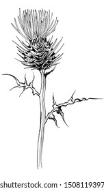 graphic Thistle flower, burdock flower silhouette plant hand drawn lines in black and white on white background for printing on fabric and paper, isolated element and pattern.