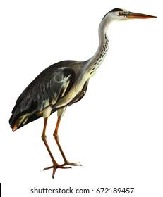 Gray heron realistic drawing (Ardea cinerea)