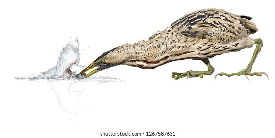 great bittern catching fish