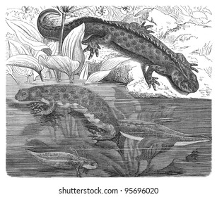 Great Crested Newt (Triturus cristatus) / vintage illustration from Meyers Konversations-Lexikon 1897