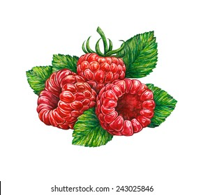 Great illustration of raspberry isolated on white background. Water color drawing of forest raspberry