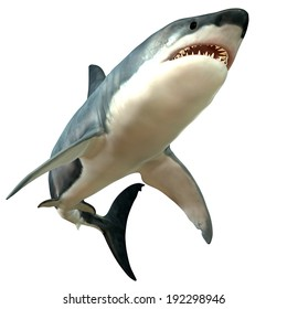 Great White Shark Body - The Great White Shark is the largest predatory fish in the sea and can grow to 26 feet and live as long as 70 years.