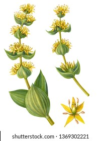 Great Yellow Gentian Pencil Drawing Isolated on White