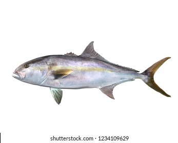 Greater yellowtail amberjack fish side view  3d Render
