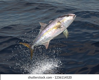 Greater yellowtail amberjack jumps out of water 3d render