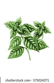 Green basil isolated on white. Botanical illustration, watercolor