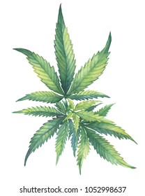 A green branch of Cannabis sativa marijuana medicinal plant  with leaves. Watercolor hand drawn painting illustration isolated on a white background.
