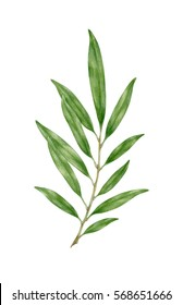 Green branch isolated on white background. Watercolor botanical painting.