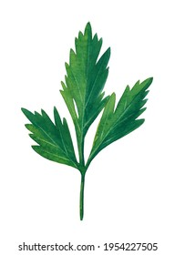 Green branch of parsley isolated on white background.  Watercolor hand drawn illustration.