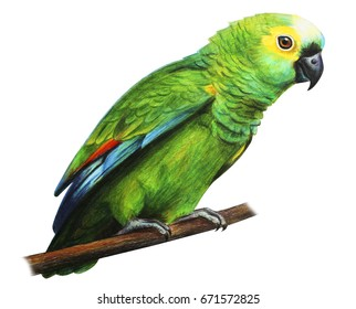 Green brazilian parrot amazon drawing (Amazona aestiva)