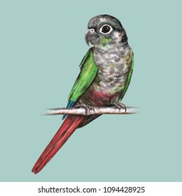 Green cheeked conure watercolor illustration