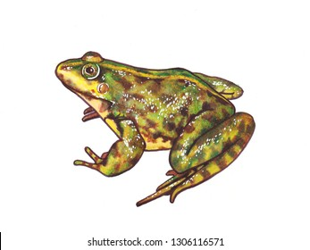 Green frog isolated on white background art illustration hand drawn wildlife animals amphibian tropical fauna reptile small