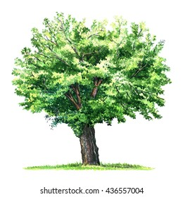 green isolated mulberry tree, watercolor illustration on white