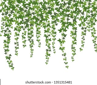 Green ivy. Creeper wall climbing plant hanging from above. Garden decoration ivy vines background