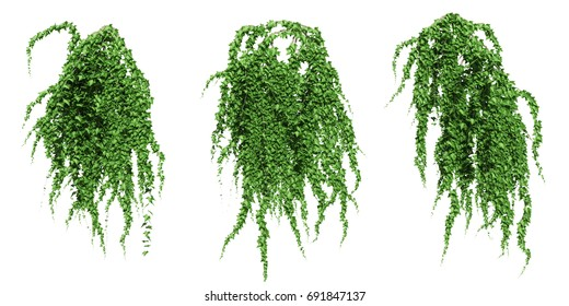 Green ivy plant isolated. 3D illustration.