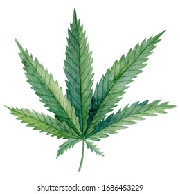 A green leaf of Cannabis indica (Marijuana) medicinal plant.  Watercolor hand drawn painting illustration isolated on a white background.