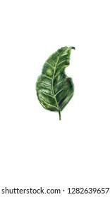 Green leaf of tea tree Camelia Camellia sinensis - watercolor botanical illustration