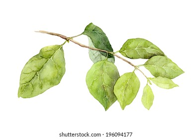 Green leaves on branch. Watercolor botanical illustration