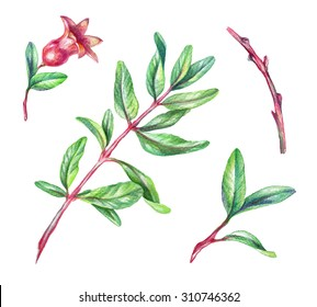 green leaves and twigs, pomegranate design elements, watercolor illustration isolated on white