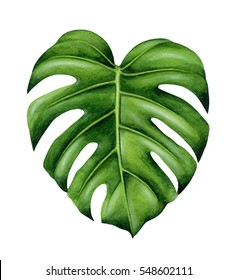Green monstera leaf. Tropical plant. Hand painted watercolor illustration isolated on white background. Realistic botanical art. Design element for fabrics, invitations, clothes and other.