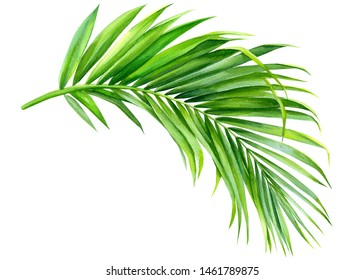 green palm leaf on an isolated white background, watercolor illustration, jungle clipart
