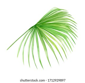 Green palm leaf. Tropical plant. Hand painted watercolor illustration isolated on white background. Realistic botanical art. Design element for fabrics, invitations, clothes and other