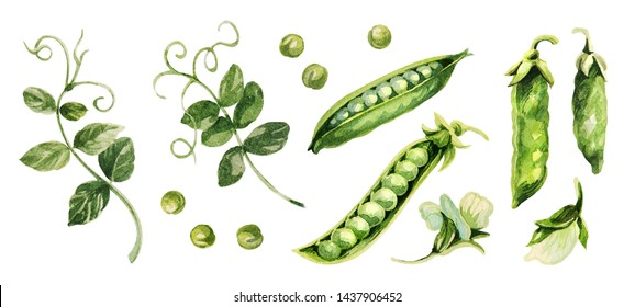 Green peas set. Hand drawing watercolor. Can be used for postcards, stickers, encyclopedias, menus, ingredients of dishes. Style design for the label, cover, prints for some surfaces.
