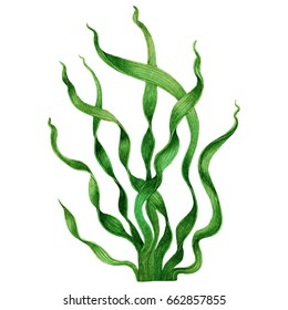Green Seaweed, kelp,Algae in the ocean, watercolor hand painted green leaves element isolated on white background. Watercolor green seaweed illustration design. With clipping path.
