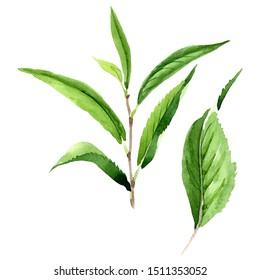 Green tea leaves. Leaf plant botanical garden floral foliage. Watercolor background illustration set. Watercolour drawing fashion aquarelle isolated. Isolated leaf illustration element.