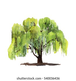 Green tree willow isolated on white background. watercolor illustration.