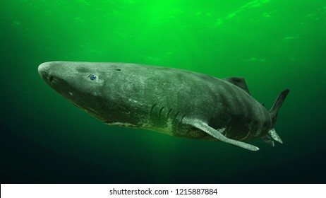 Greenland shark near the ocean ground, Somniosus microcephalus - shark with the longest known lifespan of all vertebrate species (3d rendering)