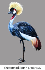Grey Crowned Crane on gray background