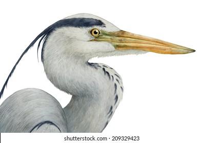 Grey heron (Ardea cinerea) head portrait - white (no background)