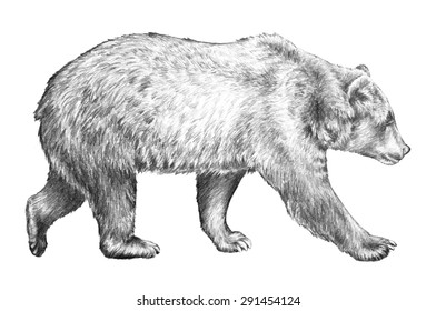 A grizzly bear illustration of the side view of a dangerous North American animal walking. This detailed hand drawn sketch is isolated on a white background.
