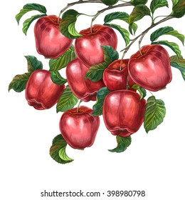 Group of apples with leaves on a branch. Watercolour drawing.
