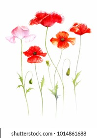 A group of five red and pink poppies, watercolor illustration on white background, isolated