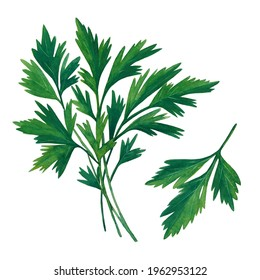 The group of green branches of parsley isolated on white background.  Watercolor hand drawn illustration.