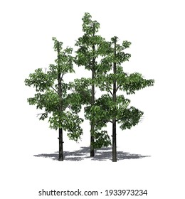 a group of Sourwood Trees with shadow on the floor - isolated on white background - 3D-Illustration