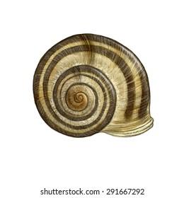 Grove (white-lipped) snail (Cepaea nemoralis) shell - white (no background)