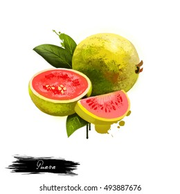 Guava fruit isolated on white background. Ripe apple guavas common tropical fruits, Myrtaceae family. Fresh tasty fruit colorful drawing with paint splashes and drips. Digital art design illustration