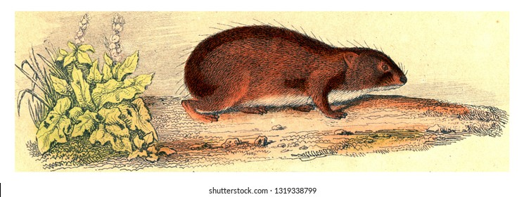 The Guinea Pig, vintage engraved illustration. From Buffon Complete Work.