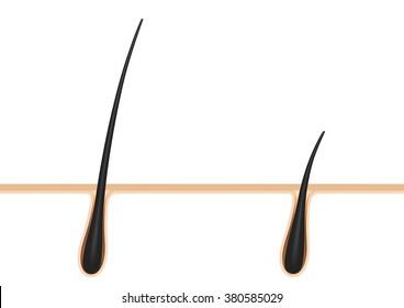 hair anatomy.hair follicle. cross section.3D illustration