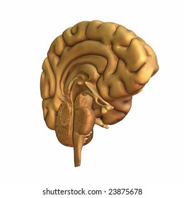 Half a brain displayed. Isolated on a white background