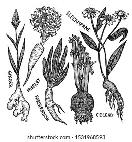 Halloween ink set of healthy roots. Ginger, parsley, celery, elecampane, horseradish. Isolated on white. Line art, stylization, vintage. Spices, ingredients for potions