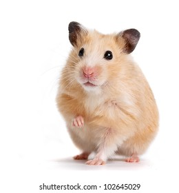 Hamster with the lifted pad on a white background.