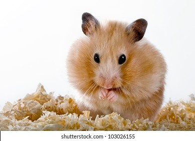 Hamster with sawdust