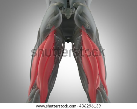 Hamstring Muscle Group Human Anatomy Muscle Stock Illustration
